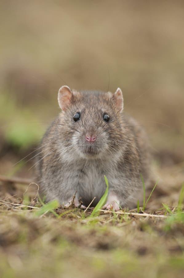 Brown szczur (Rattus norvegicus) obrazy royalty free