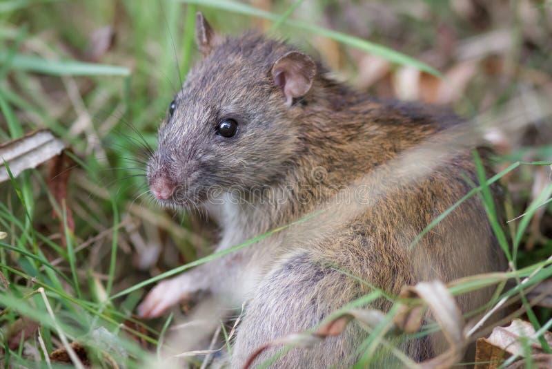 Brown szczur (Rattus novegicus) fotografia royalty free