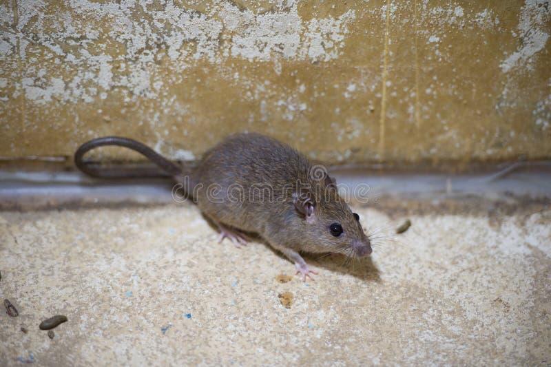 Brown szczur w moździerzowych baliach fotografia royalty free