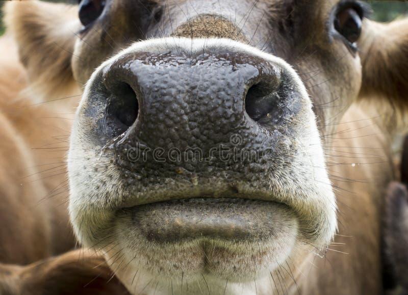 Brown szwajcara krowy nos fotografia royalty free