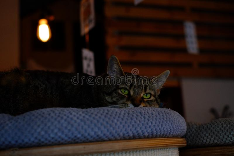 Brown Tabby Cat on Blue Fabric Padded Chair stock photos