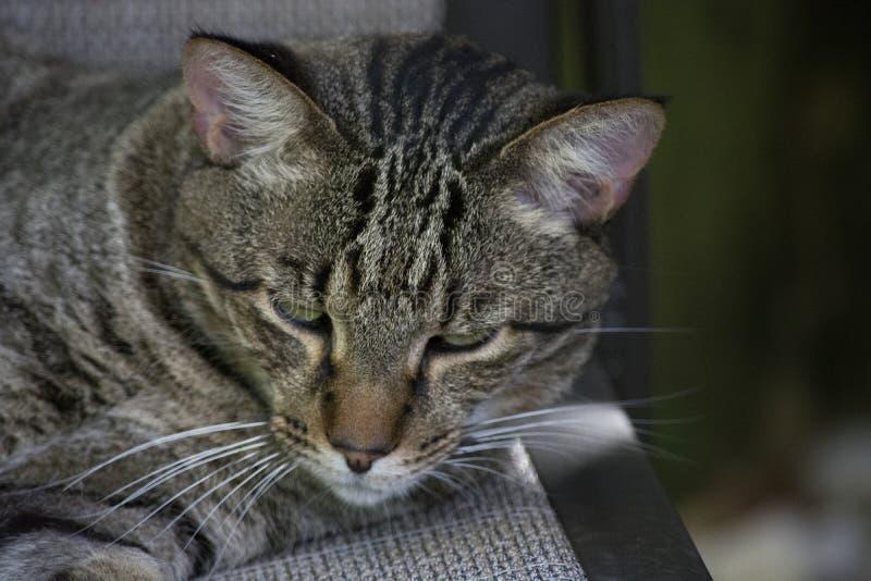 Brown Tabby Cat com Stripey enfrenta o relaxamento em uma cadeira exterior de Brown imagens de stock royalty free