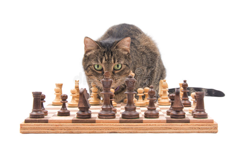 Brown tabby cat looking across chess board. Carefully contemplating her next move, isolated on white royalty free stock photo