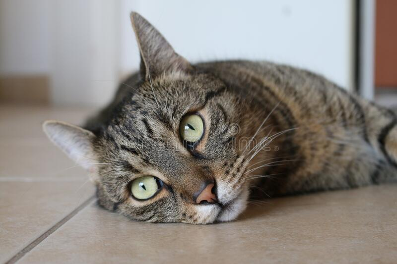 Brown Tabby Cat Lying on Brown Ceramic Tile Flooring royalty free stock image