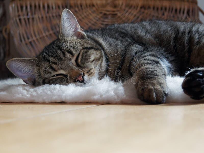 Brown Tabby Cat Lying on Shag Rug royalty free stock photo