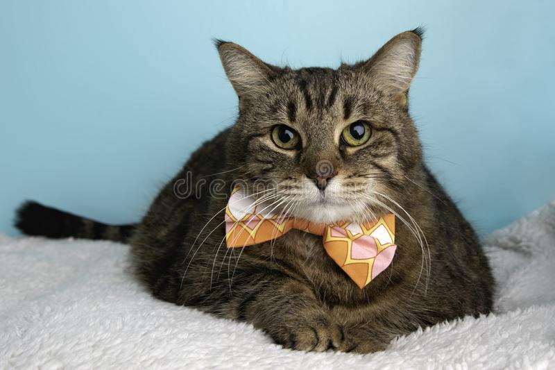 Brown Tabby Cat Portrait in Studio and Wearing a Bow Tie stock photo