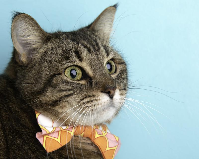 Brown Tabby Cat Portrait in Studio and Wearing a Bow Tie royalty free stock photography