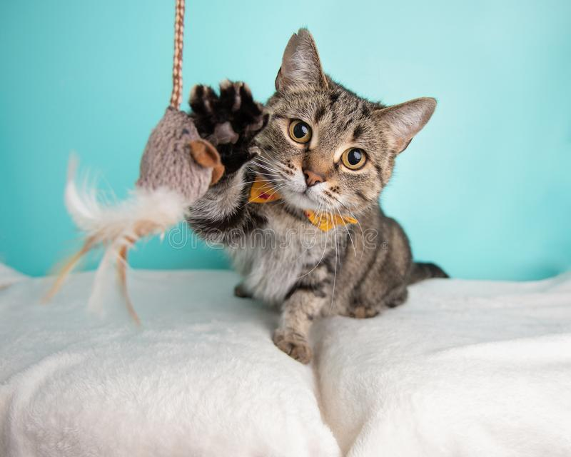 Brown Tabby Cat Portrait in Studio and Wearing a Bow Tie stock images