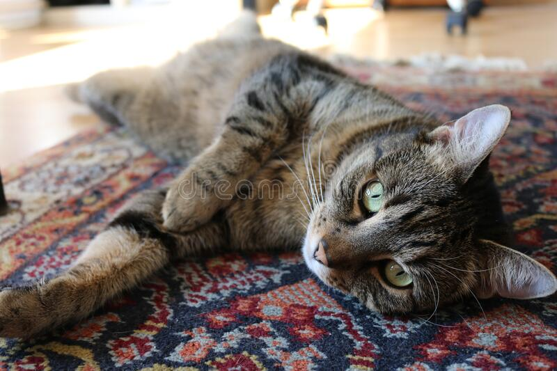 Brown Tabby Cat on Red and Blue Floral Carpet royalty free stock photo
