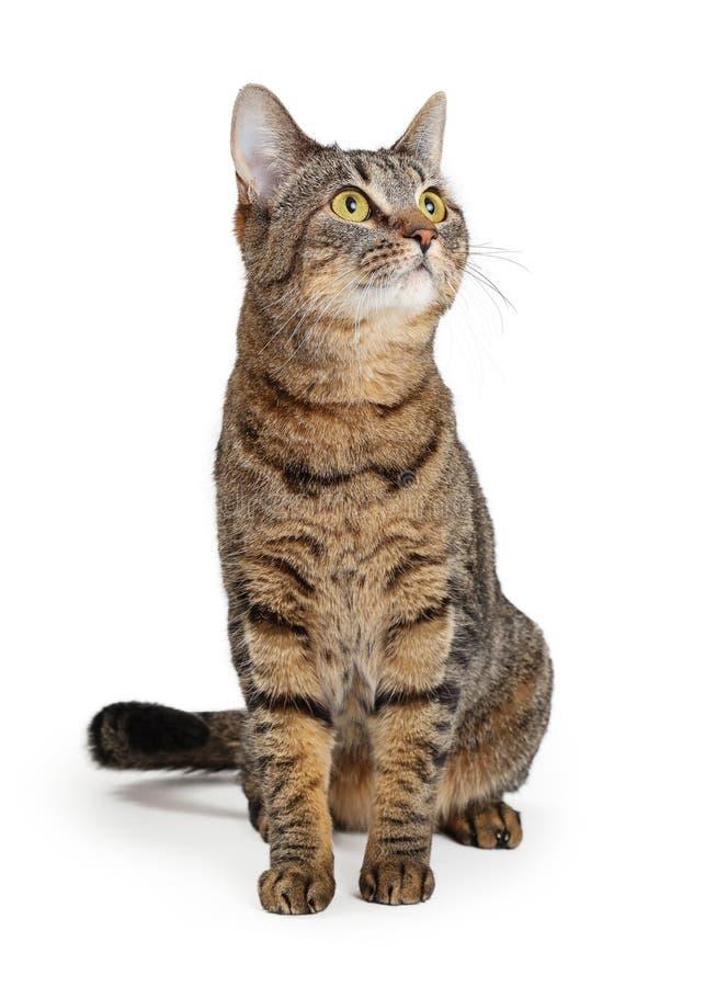 Brown Tabby Cat Sitting Looking Up lizenzfreies stockfoto