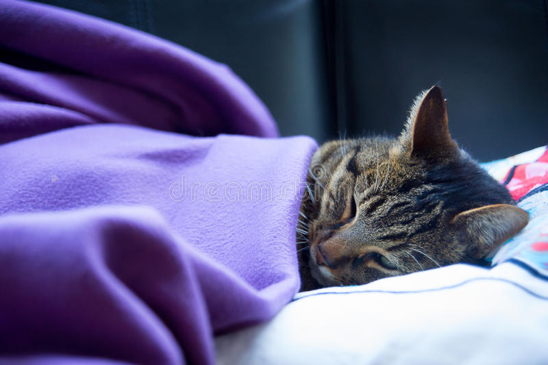 Brown tabby cat sleeping under blanket on couch. Brown tabby cat sleeping under purple blanket on black couch, close up stock images