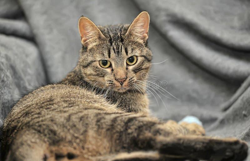 Brown tabby European Shorthair cat. On gray background royalty free stock photos