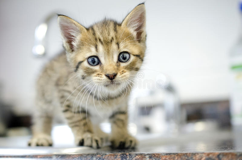 Brown Tabby Kitten foto de stock