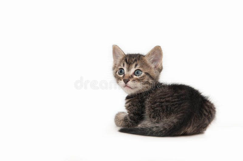 Brown tabby kitten (male) royalty free stock images