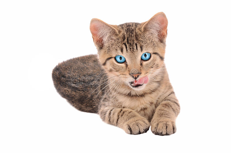 Brown Tabby Kitten With Tongue Out Stock Photo
