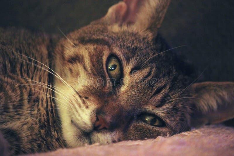 Brown Tabby kot Kłaść na Różowej tkaninie zdjęcia stock