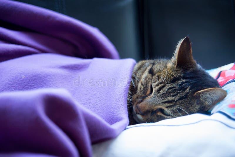 Brown tabby kota dosypianie pod koc na leżance obrazy stock
