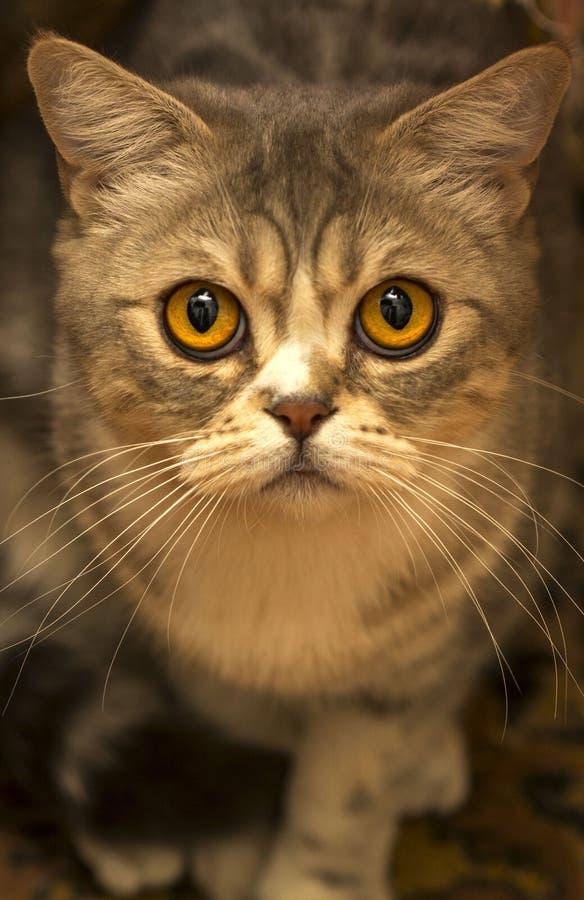 Brown Tabby kota zakończenie W górę fotografii fotografia stock