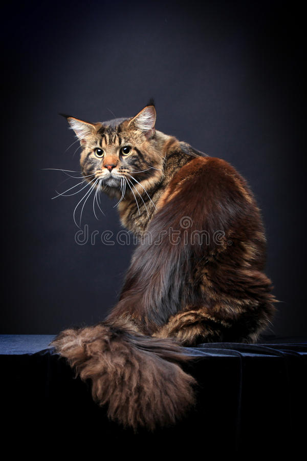 Brown Tabby Maine Coon sul nero fotografie stock