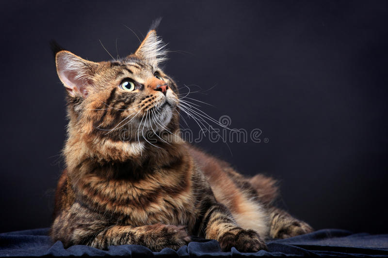 Brown Tabby Maine Coon sul nero immagine stock