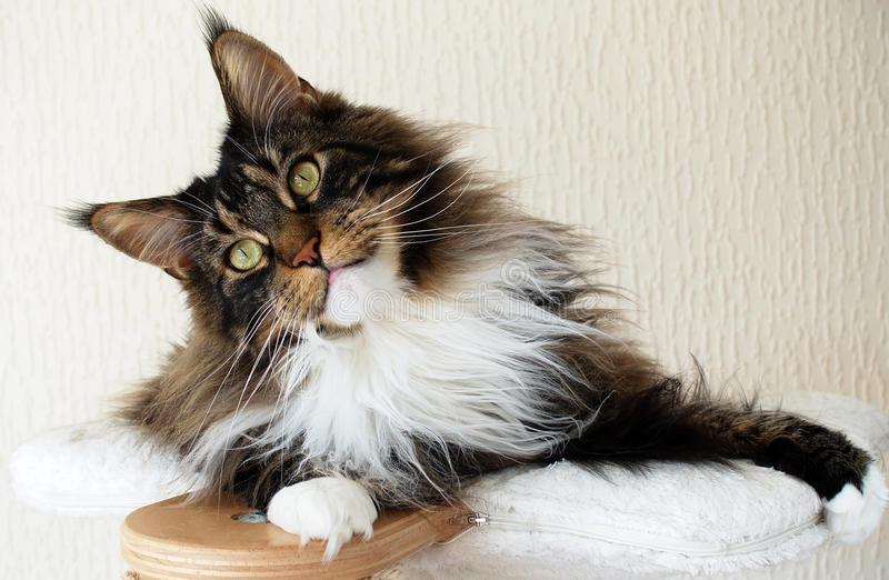 Brown tabby with white Maine Coon boy on top of cat tree looking curious royalty free stock photo