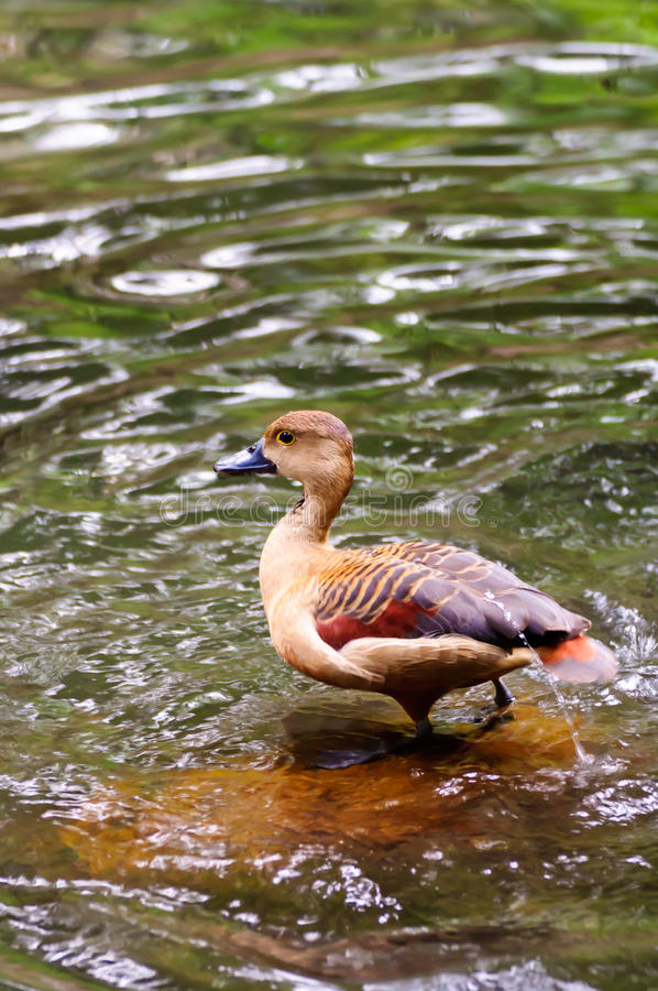 Free Brown Teal Duck Standing In Water Stock Photo - 32707270