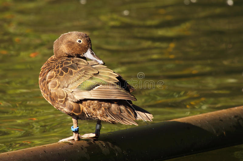 Brown Teal Looking Back image stock