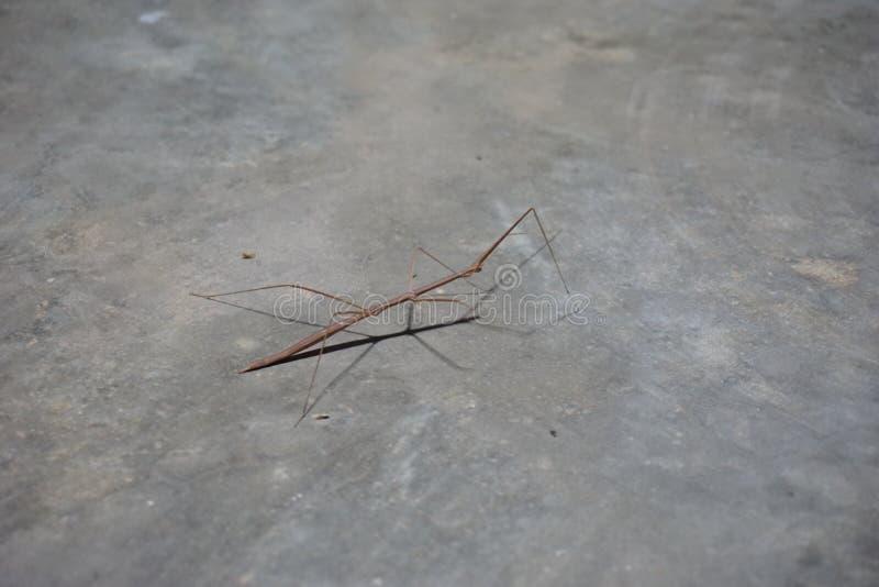 Brown Tenodera Pinapavonis photo stock