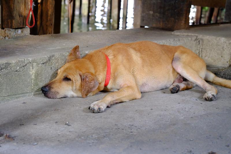 Brown Thai dog lying on cement ground floor of a market road royalty free stock photo