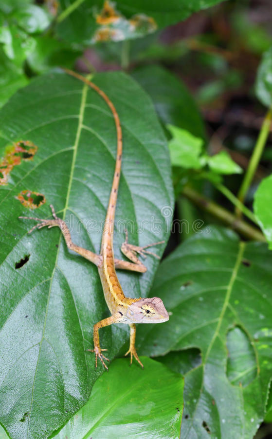 Brown Thai Native Lizard Catch On The Tree Royalty Free Stock Images