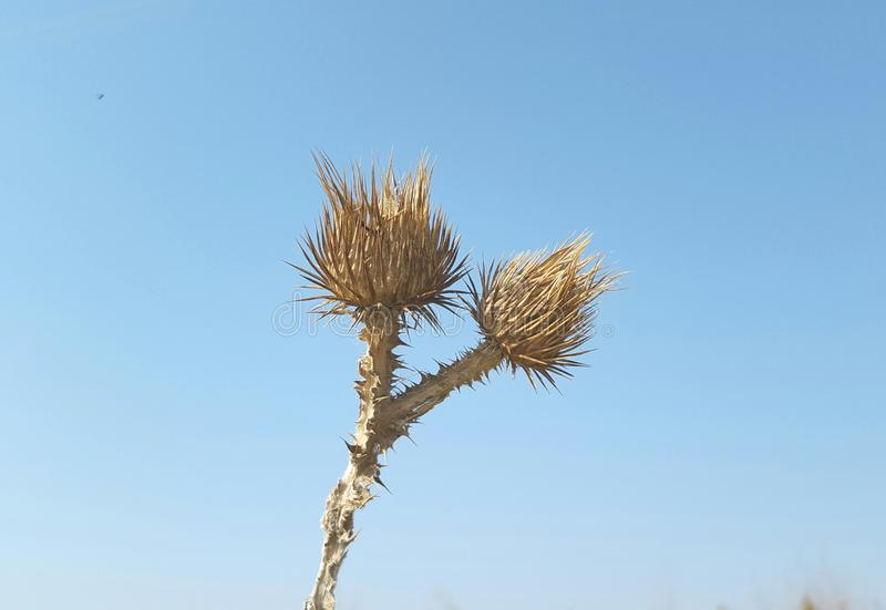 Brown thorny flower. With blue sky in the background stock photo