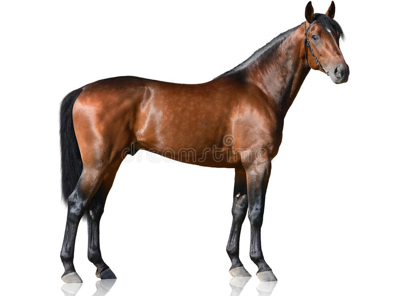 The brown thoroughbred stallion standing on white background stock photos
