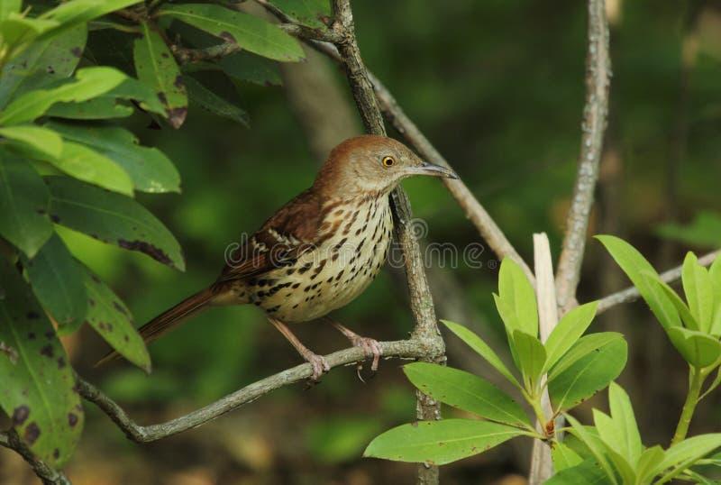 Download Brown Thrasher stock photo. Image of avian, fauna, leisure - 19676058