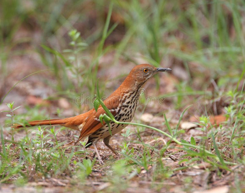 Download Brown Thrasher stock photo. Image of thrasher, spots - 22092524