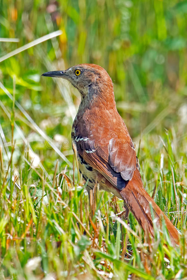 Download Brown Thrasher stock photo. Image of nature, wildlife - 25492016