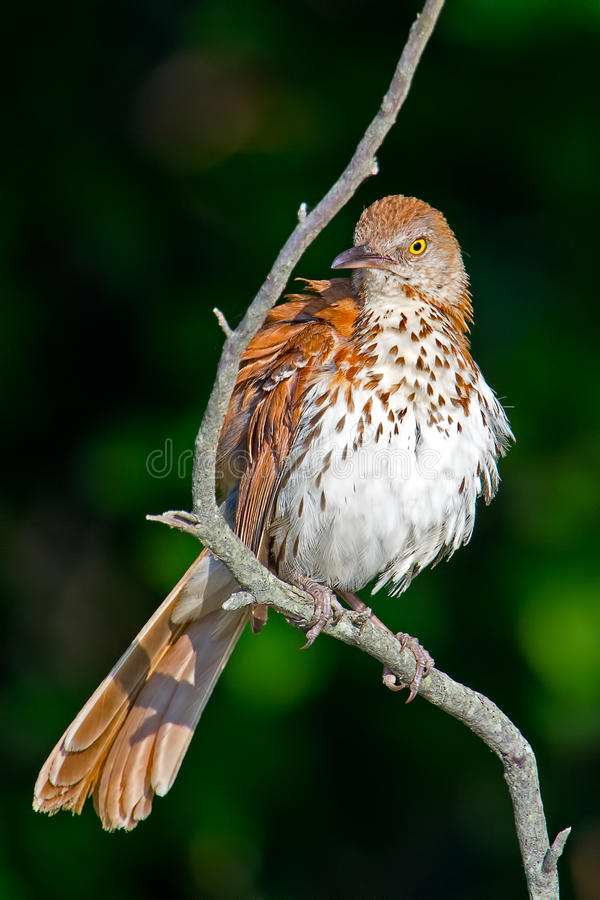 Download Brown Thrasher stock photo. Image of nature, toxostoma - 26625036