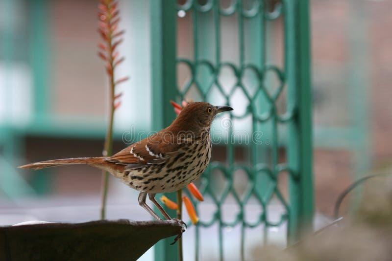 Brown Thrasher auf Vogelbad an der Dämmerung stockfotografie