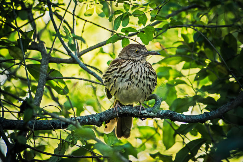 Brown Thrasher on a Branch stock images
