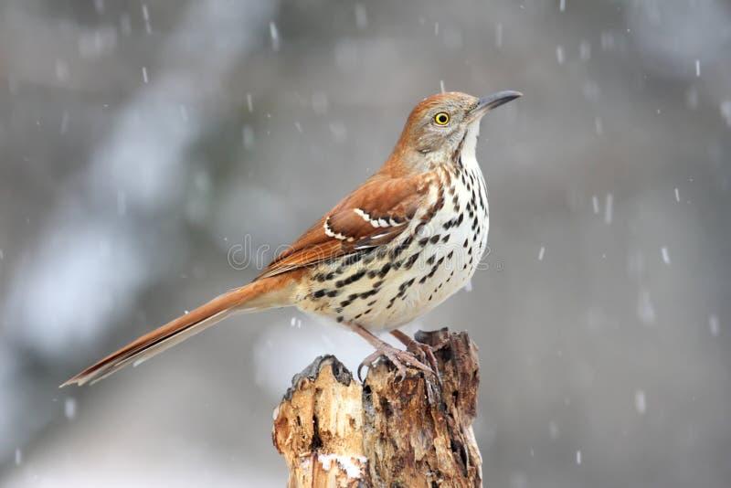Brown Thrasher dans la neige photo libre de droits