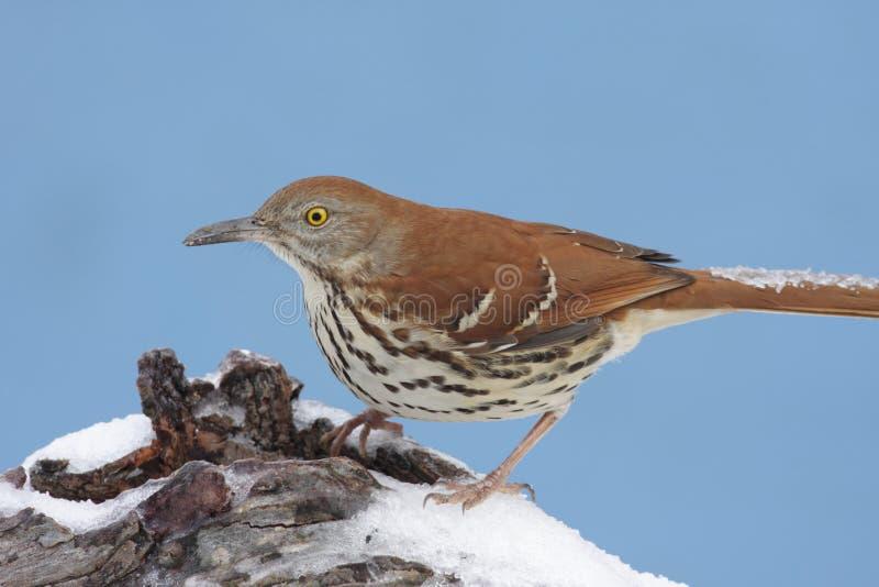 Brown Thrasher en invierno imagenes de archivo