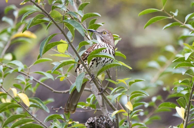 Brown Thrasher Gruzja stanu ptak zdjęcia stock