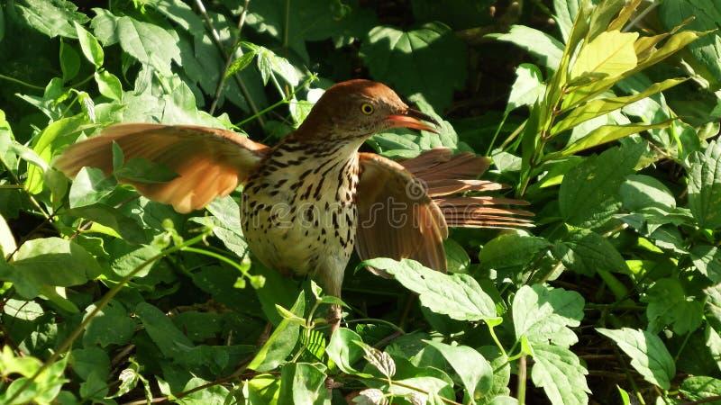 Brown Thrasher Ochrania jej gniazdeczko fotografia stock