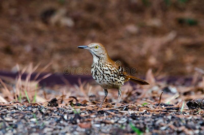 Brown Thrasher ptak, Ateny, Gruzja obraz stock