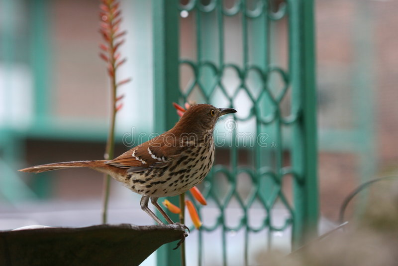 Brown Thrasher sul bagno dell'uccello al crepuscolo fotografia stock