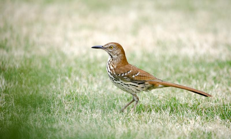 Brown Thrasher bird, Athens, Clarke County, Georgia USA. Brown Thrasher, Toxostoma rufum, songbird on bermuda grass lawn. Photographed spring in southeast United royalty free stock image