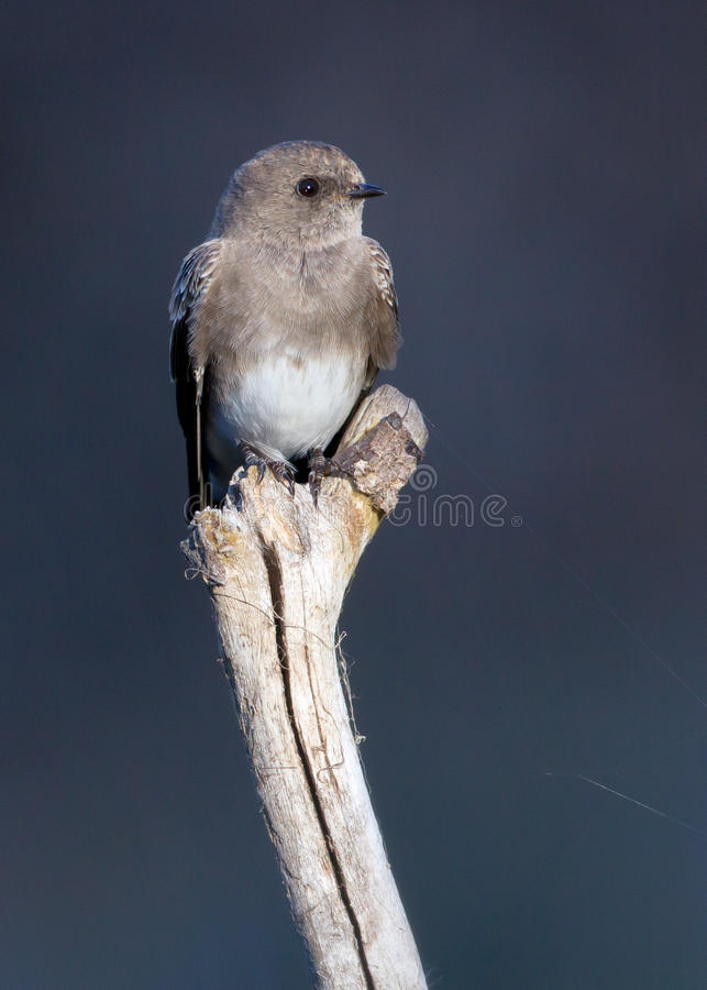 Download Brown-throated Martin stock photo. Image of throated - 23596806