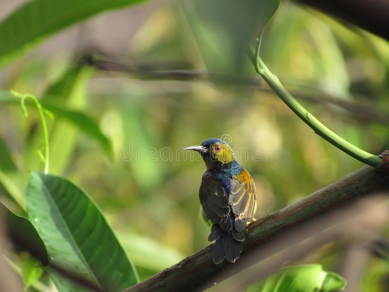 Brown-throated Sunbird - Male. A male Brown-throated Sunbird, Anthreptes Malacensis, perching on a mango tree branch stock photos