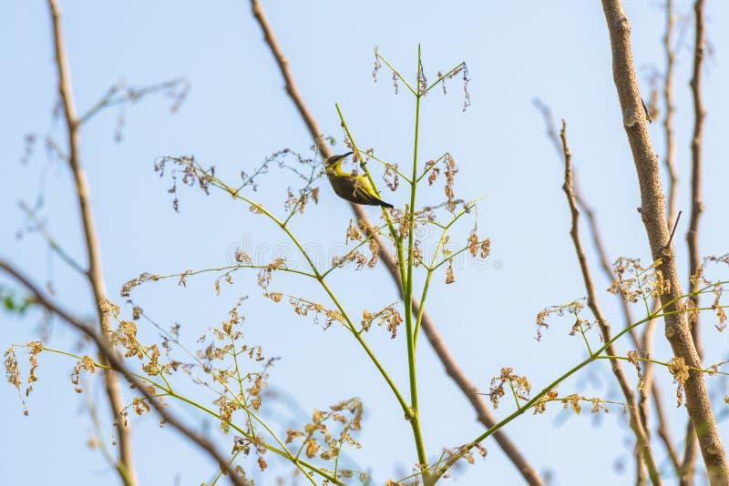 Brown-throated Sunbird or Plain-throated Sunbird on a tree branch. Brown-throated Sunbird or Plain-throated Sunbird, Olive backed sunbird Yellow bellied sunbird stock images