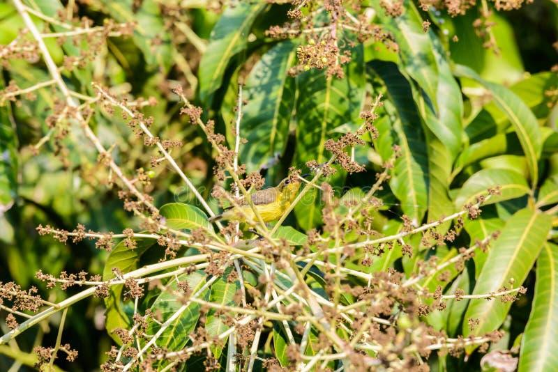 Brown-throated Sunbird or Plain-throated Sunbird on a tree branch. Brown-throated Sunbird or Plain-throated Sunbird, Olive backed sunbird Yellow bellied sunbird royalty free stock photo