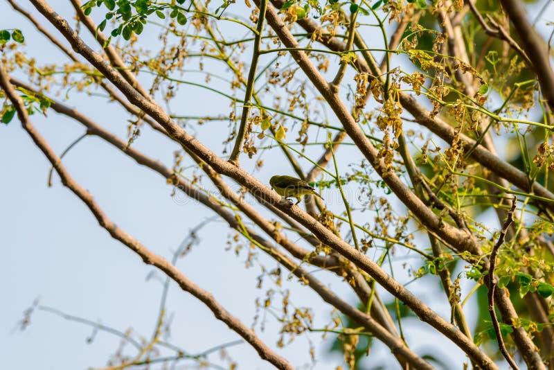 Brown-throated Sunbird or Plain-throated Sunbird on a tree branch. Brown-throated Sunbird or Plain-throated Sunbird, Olive backed sunbird Yellow bellied sunbird stock image